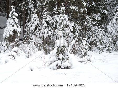 Winter landscape in pine tree forest Karelian isthmus Russia.