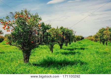 Fantastic views of the beautiful tree species in Italy. Sicily.