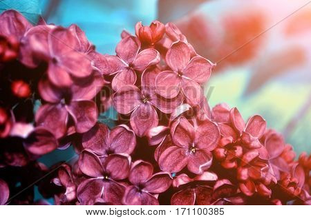 Spring flowers  - blooming dark red lilac flowers under soft light. Selective focus at the central spring flowers. Spring flowers under soft sunlight. Colorful spring flowers. Spring flowers of blooming lilac