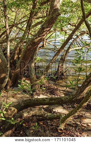 Typical mangrove vegetation with its shrubs sprouting from the water