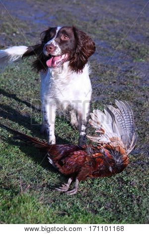 Young Working Type English Springer Spaniel Pet Gundog With A Pheasant