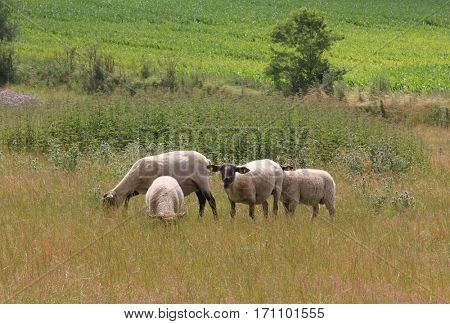 Flock of sheep on the green grass