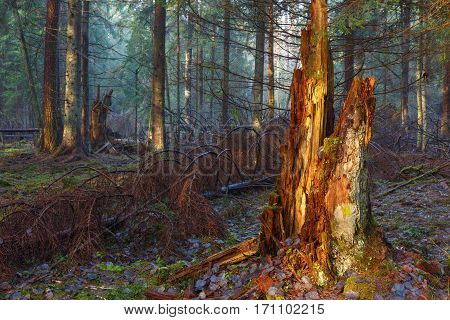 Mostly coniferous stand of Bialowieza Forest with broken bartly declined spruce tree stump in foreground, Bialowieza Forest, Poland, Europe