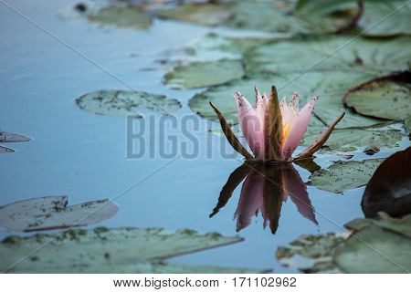 Pink Waterlily (nymphaea Alba) With Aphids
