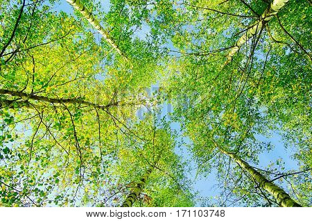Spring landscape - green branches of spring forest trees extend to the blue sky in spring sunny day. Spring landscape with forest birch spring trees, colorful spring landscape view