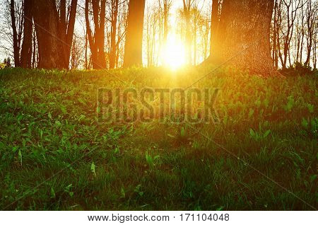Forest landscape - forest trees with grass on the foreground and sunset light shining through the forest trees. Colorful forest nature at the sunset. Sunset in the forest with sunshine breaking through the forest trees