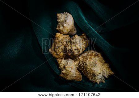 Six seashells on dark green velvet in the center of the frame
