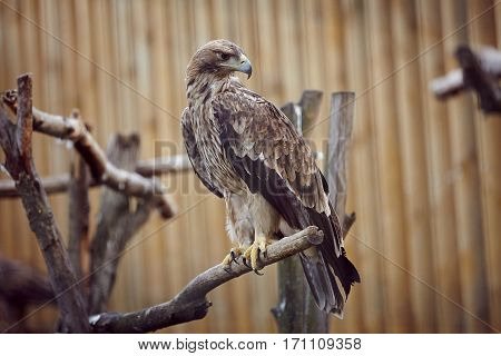 Aquila chrysaetos. Bird, predator, eagle, flying, eagle eye. Nature. wild nature
