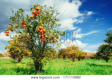 Fantastic views of the beautiful orange trees in Italy Sicily
