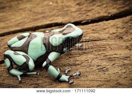 Poison dart frog, Dendrobates auratus Pena Blanca. Poisonous rain forest animal from Panama.