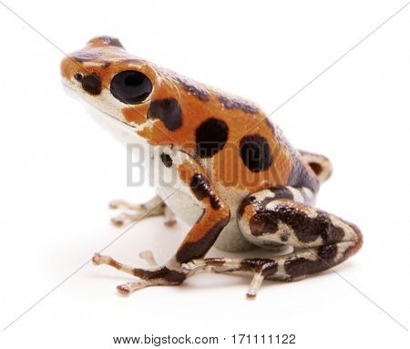 Poison dart or arrow frog, a morph found on Red Frog Beach, Bastimentos, Bocas del Toro, Panama. Tropical poisonous rain forest animal, Oophaga pumilio isolated on a white background.