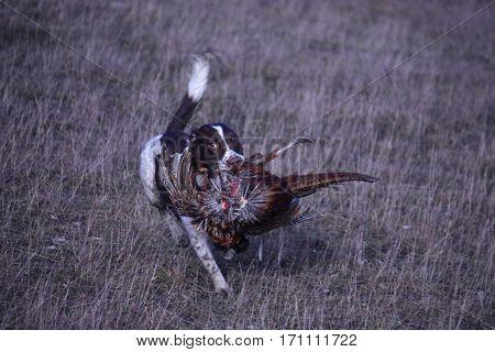Liver And White Working Type English Springer Spaniel Pet Gundog Carrying A Pheasant