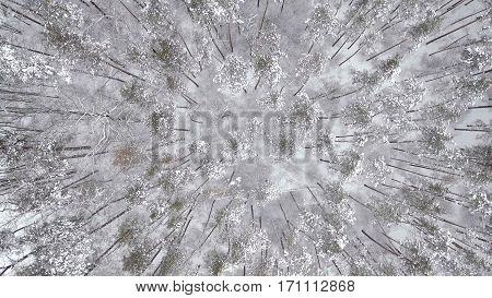 Aerial frozen pine and fir trees in the snow in winter. Many trees, wood. Thick forest aerial view