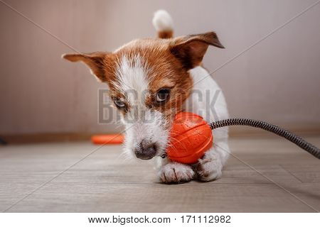 Dog Jack Russell Terrier playing with toy