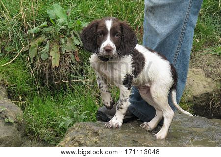 Young Liver And White Working Type English Springer Spaniel Pet Gundog Puppy