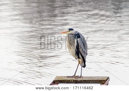 Grey heron (Ardea cinerea) looking for fishes from the landing stage on the river Havel in Berlin Germany at a winter time