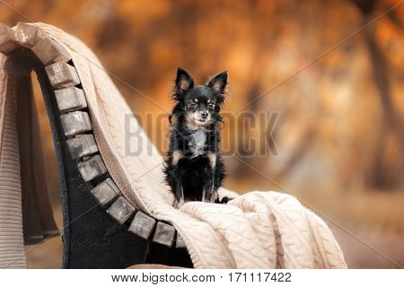 Dog Toy Terrier In Nature At The Auturm