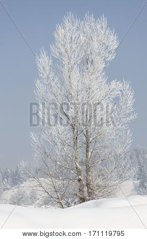 Wondeful winter landscape. Tree covered with hoarfrost and snow in winter on forest background. Bansko, Bulgaria