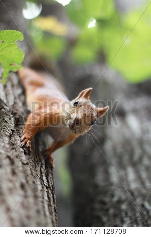 Сurious squirrel on the tree in summer day.