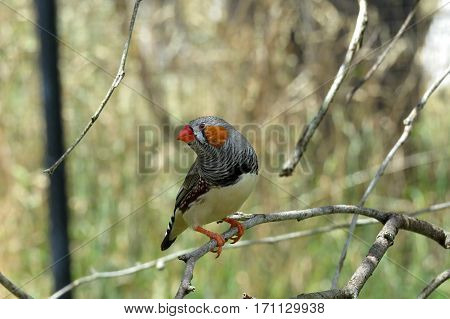 Zebra Finch Australian native bird animal perched on tree branch