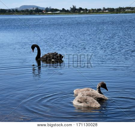 Beautiful black swan family swimming on the Lake Wendouree (Ballarat VIC Australia). The black swan is a large water bird which breeds mainly in the southeast and southwest regions of Australia.