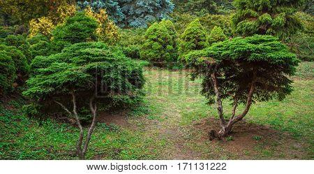 Beautiful yew trees in garden. Landscape design.