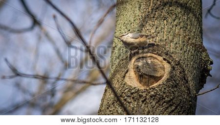 Little nuthatch sitting on tree. Blue sky on the background.