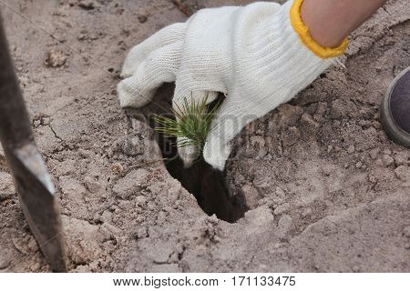 Planting of single plants in the planting hole, hand keep open-rooted seedling