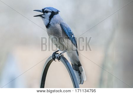Blue Jay perched on a feeder calling out
