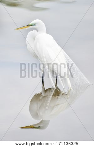 Great Egret, Common Egret, Large Egret, Great White Heron - Ardea alba