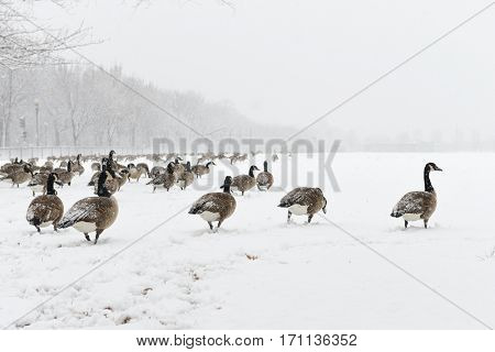 Gooses in snow - Washington DC, National Mall