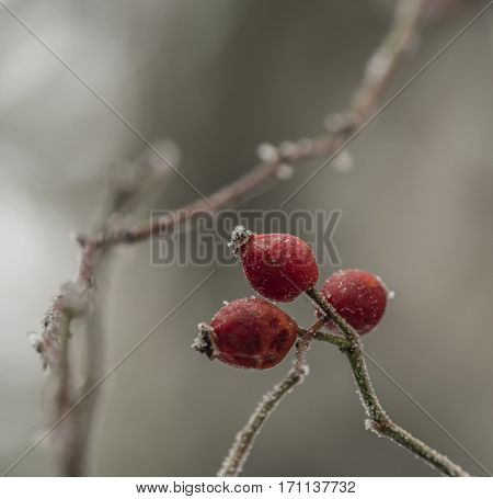 Brier fruit after frost in cold winter day
