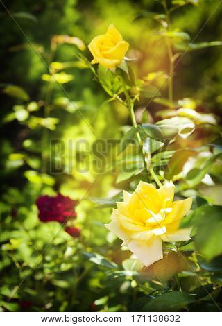 Beautiful yellow roses on bush, flowers background