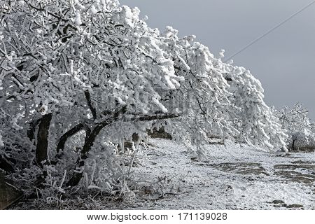 Beautiful branch covered with snow on a grey sky