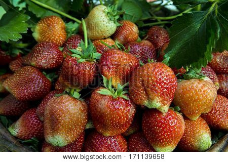 Fresh Strawberry Background Fresh ripe strawberries closeup.