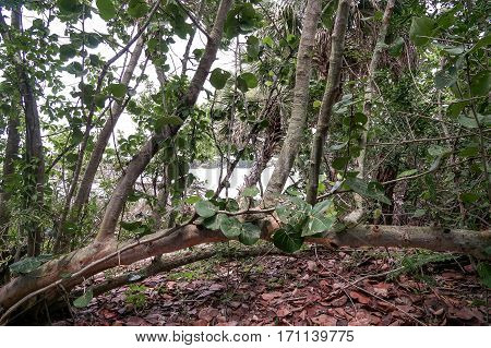 Sea Grape tree in a beach forest