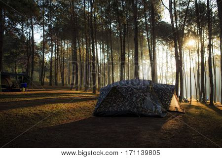 Tent Under The Pine Forest At Morning Against The Bright Sunlightd.