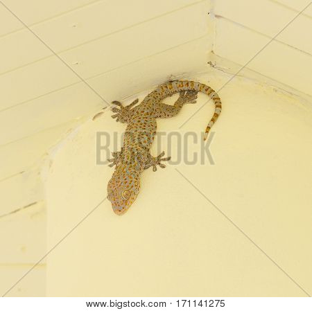 a wall gecko on a yellow ceiling