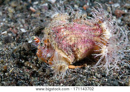 Hermit crab, Dardanus pedunculatus with symbiotic sea anemone, Calliactus polypus, Komodo Island, Indonesia.