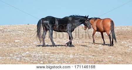 Wild Horses - Black Band Stallion And Dun Mare On Sykes Ridge In The Pryor Mountains Wild Horse Rang