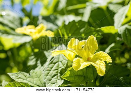 Close up yellow bitter melom flowers in summer