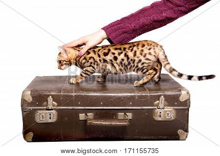 Bengal kitten 5 months old in the trunk in front of white background. isolate
