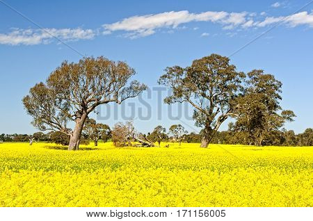 Gum trees in a field of canola in the Grampians, Victoria, Australia