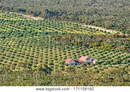 Olive farm at the foot of Mount Zero in the- Grampians Ranges, Victoria, Australia