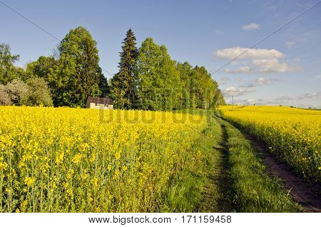 spring farmland with blossoming rapeseed fields road and beehive