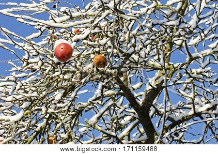red apple fruits on tree branch covered autumn snow