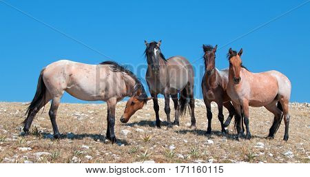 Small Band of Mustangs on Sykes Ridge in the Pryor Mountains Wild Horse Range in Montana USA