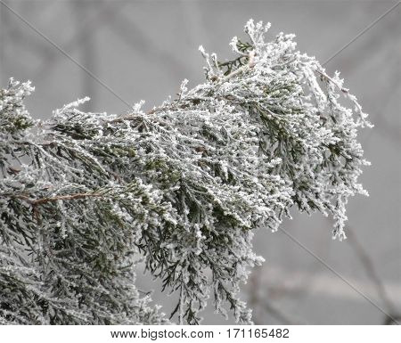 Closeup of Conifers (Thuja) branches covered with hoarfrost