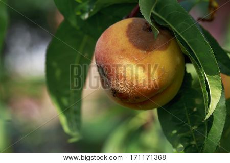 the rotten peach on a branch of tree