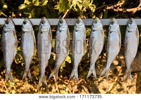 shad exposed to the sun to dry